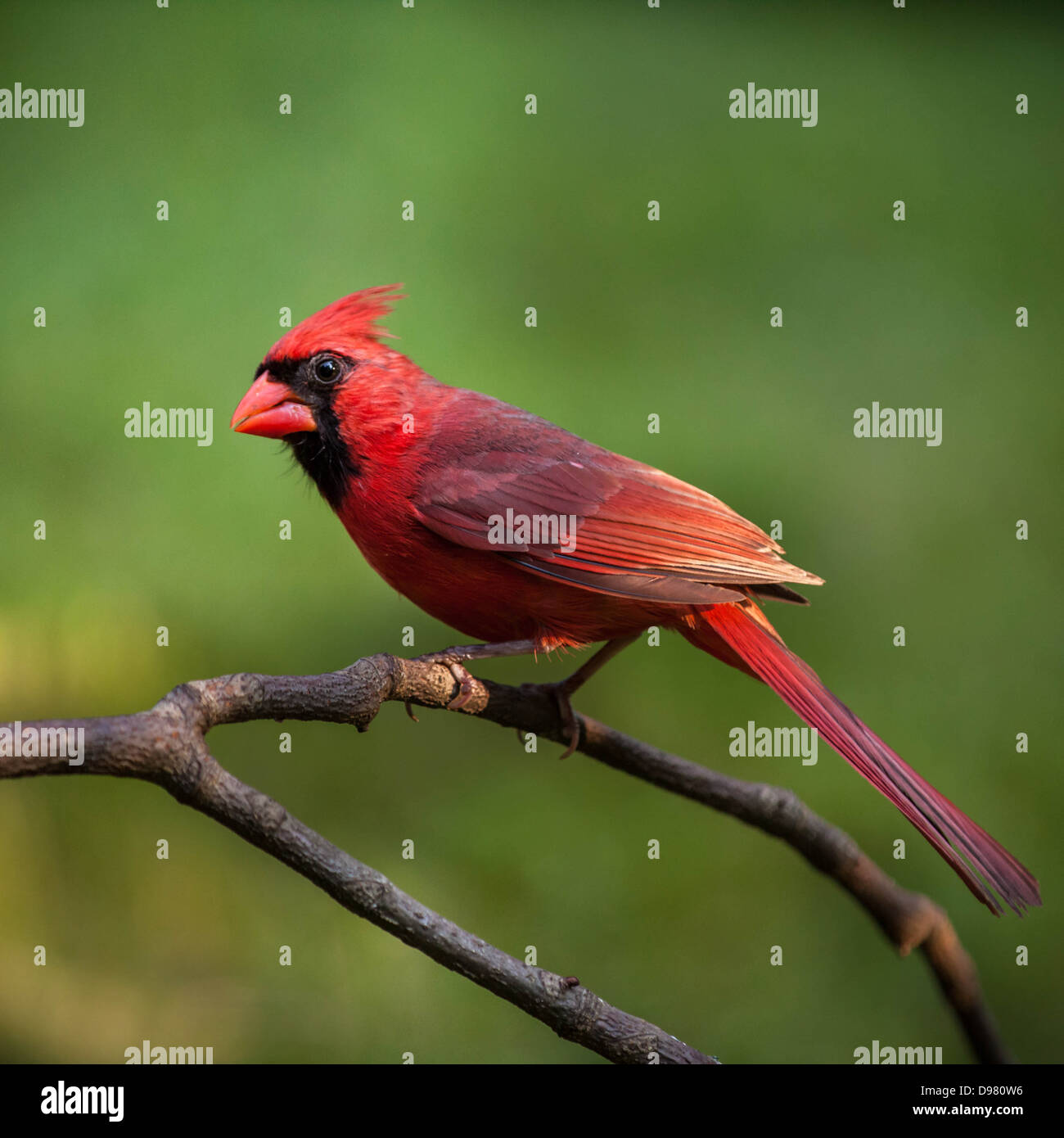 Male Northern Cardinal perched on a branch against a green background - Stock Image