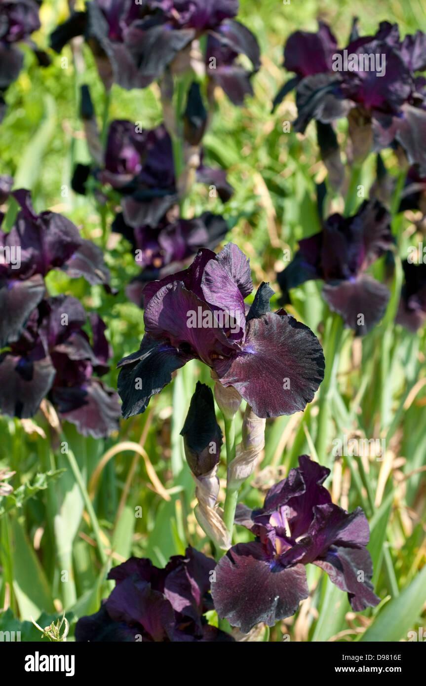 Black iris flower garden stock photos black iris flower garden black iris stock image izmirmasajfo