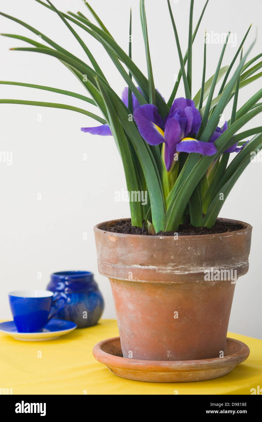 Portrait shot of purple Dutch Irises in a terracotta pot on a yellow table in front of a blue espresso cup. - Stock Image