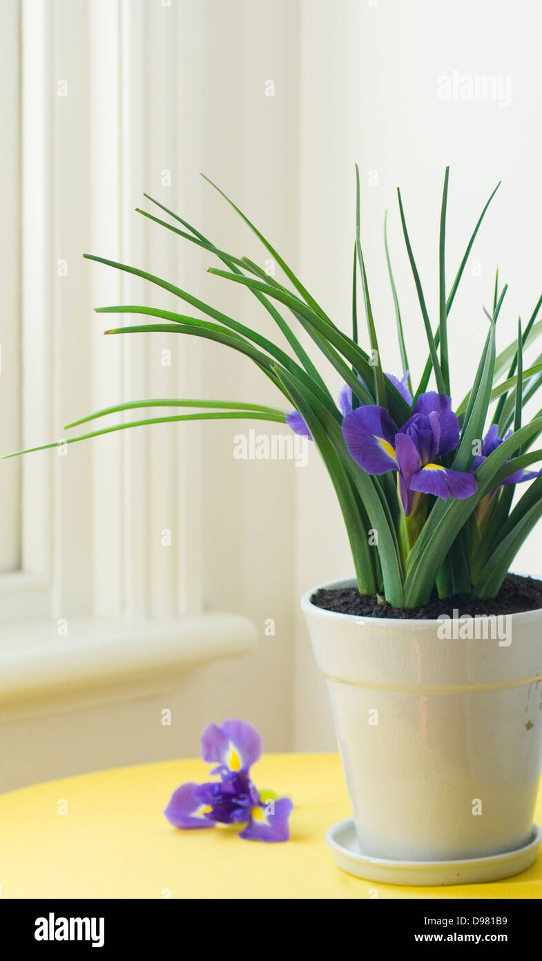 Portrait shot of purple Dutch Irises in a white pot on a yellow table beside a window sill. - Stock Image