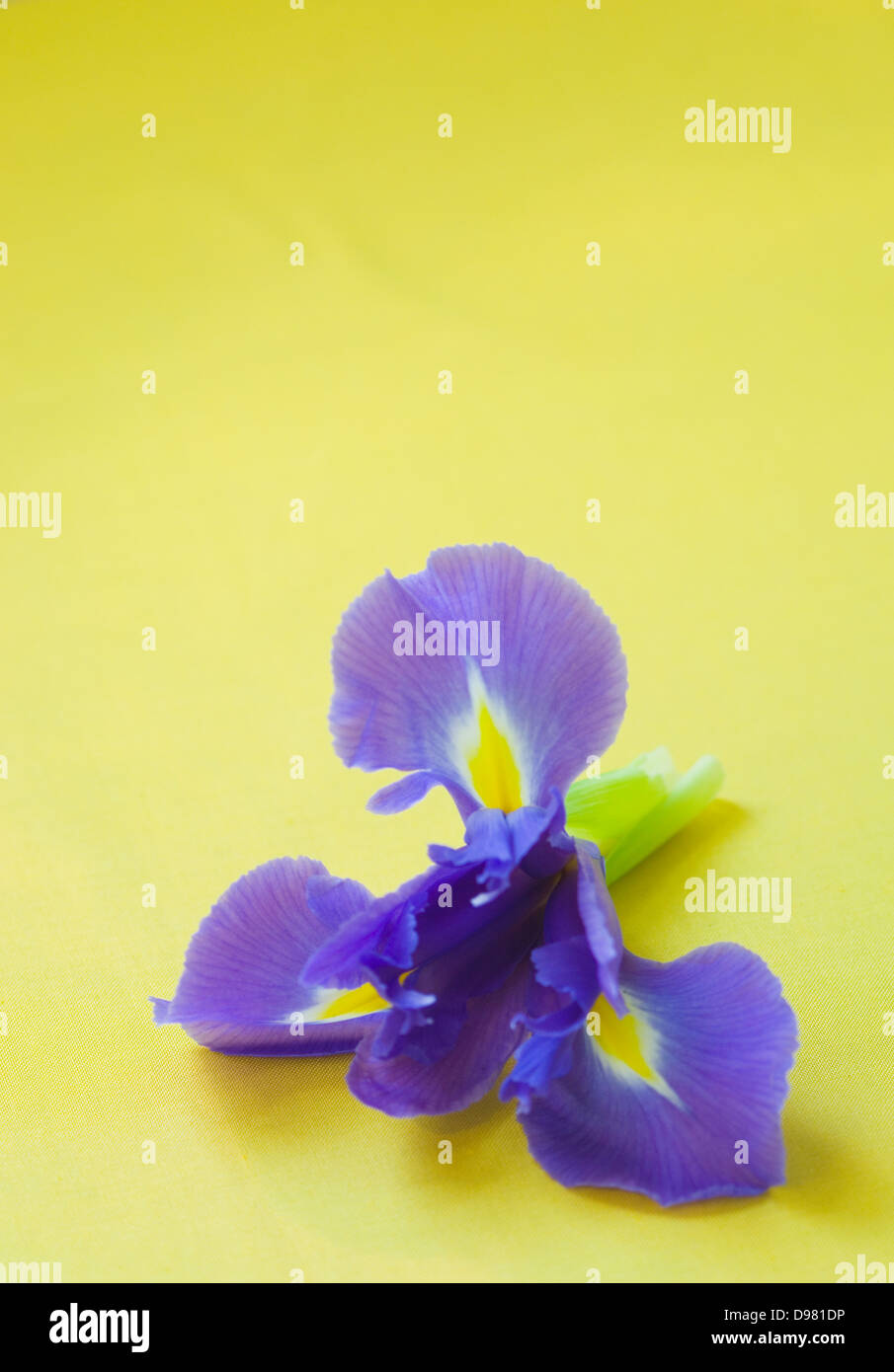 Portrait close-up shot of a purple and yellow Dutch Iris flower on a yellow tabletop. - Stock Image