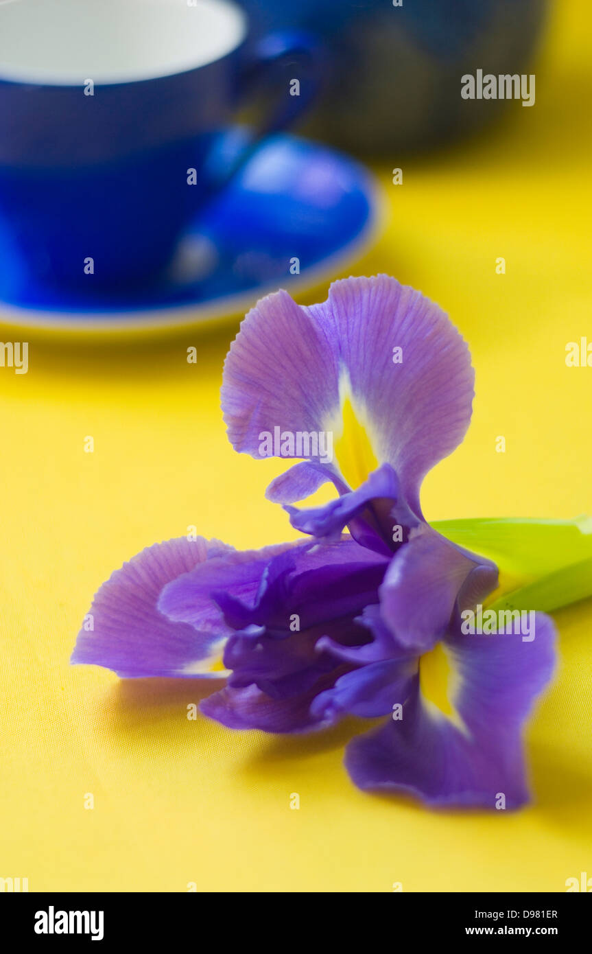 Portrait close-up shot of a purple and yellow Dutch Iris flower next to a blue espresso cup on a yellow tabletop. - Stock Image