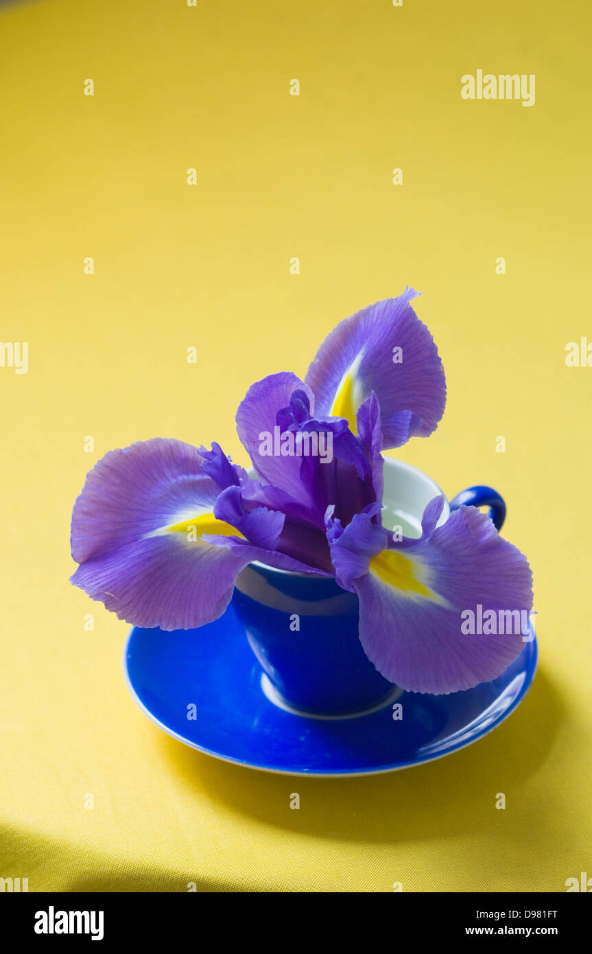 Portrait close-up shot of a purple and yellow Dutch Iris flower in a blue espresso cup on a yellow tabletop. - Stock Image
