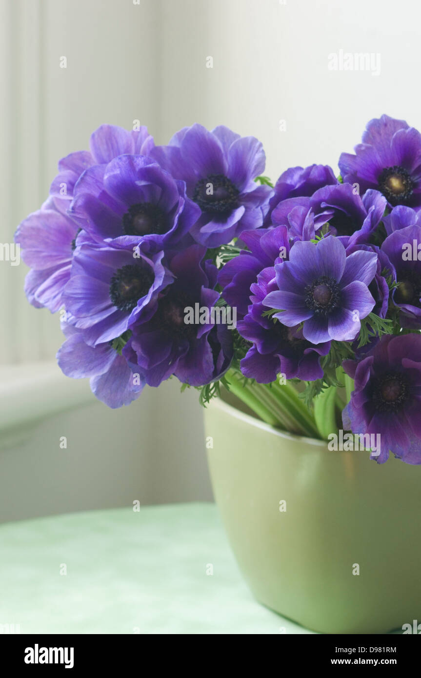 Portrait close-up shot of purple Poppy Anemones or Spanish Marigolds in a green pot on a green table top by a window. Stock Photo