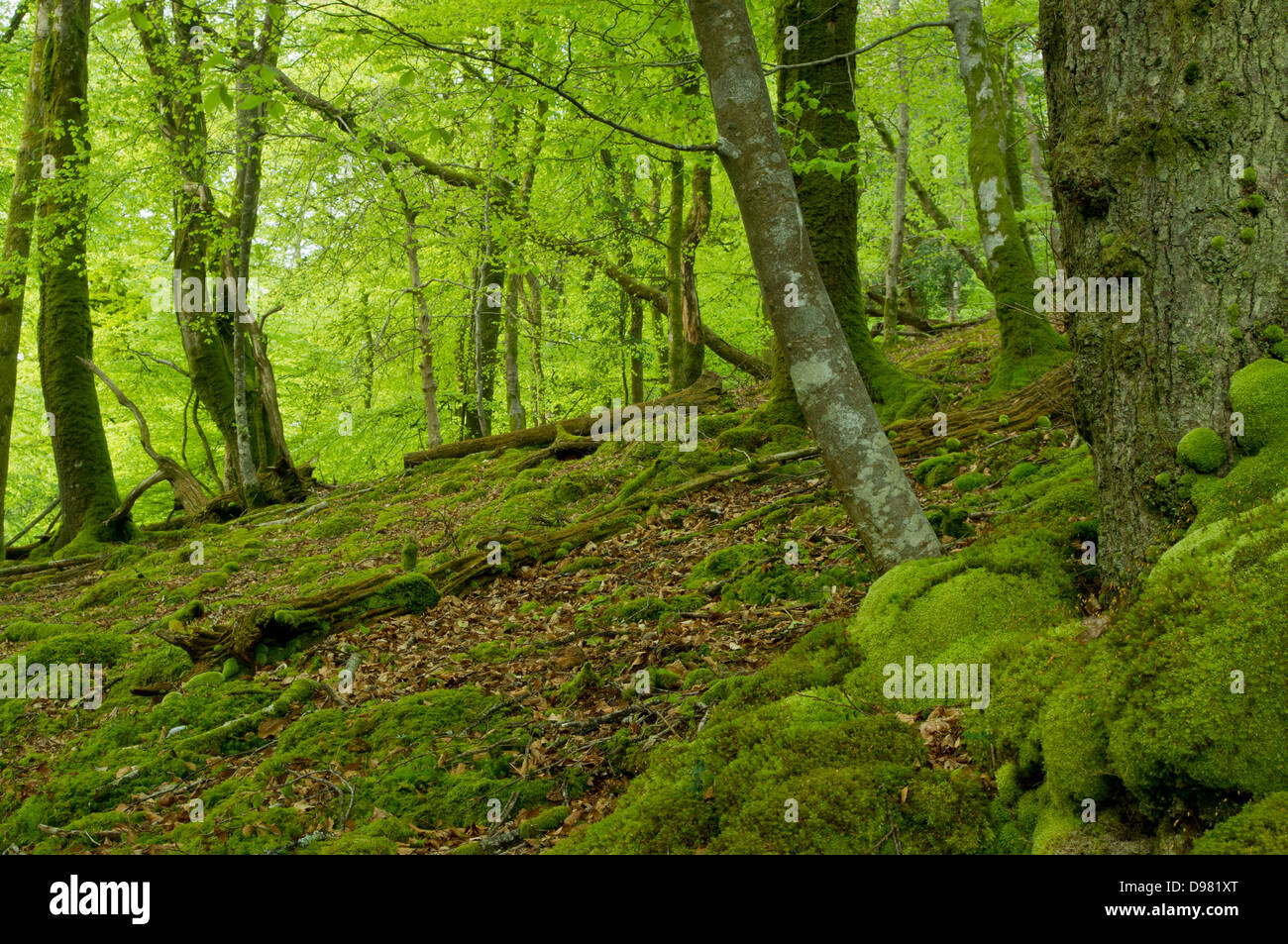 Late evening light on the beech trees on the steep banks of eastern side of the River Yealm in Dendles Wood - Stock Image