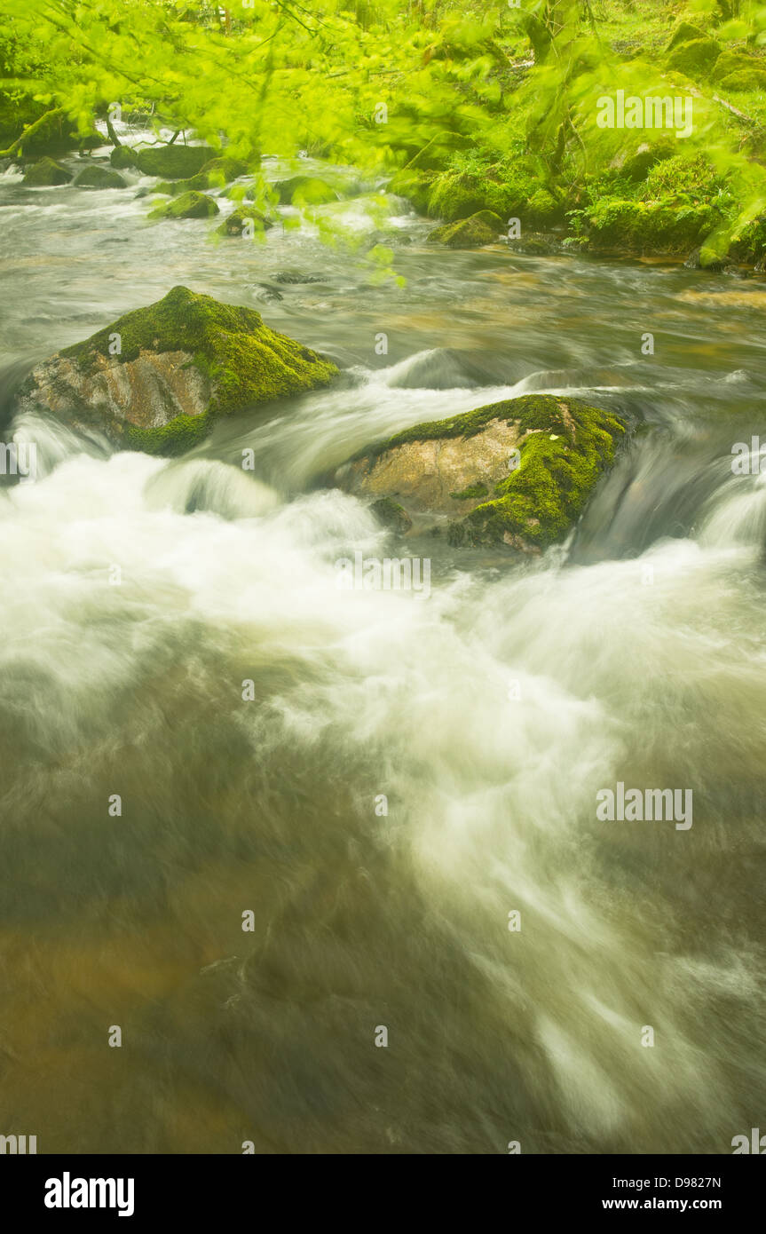 Beech trees blowing in the breeze on the River Fowey, above Golitha Falls in Cornwall - Stock Image