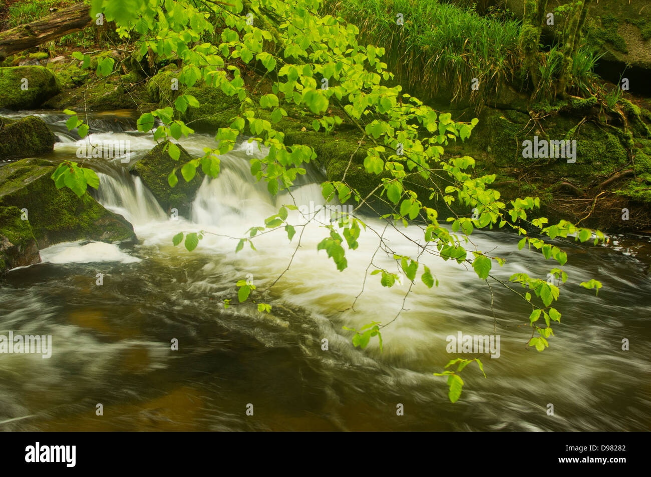 Verdant young Beech leaves in the breeze above a waterfall on the River Fowey at Golitha Falls Stock Photo