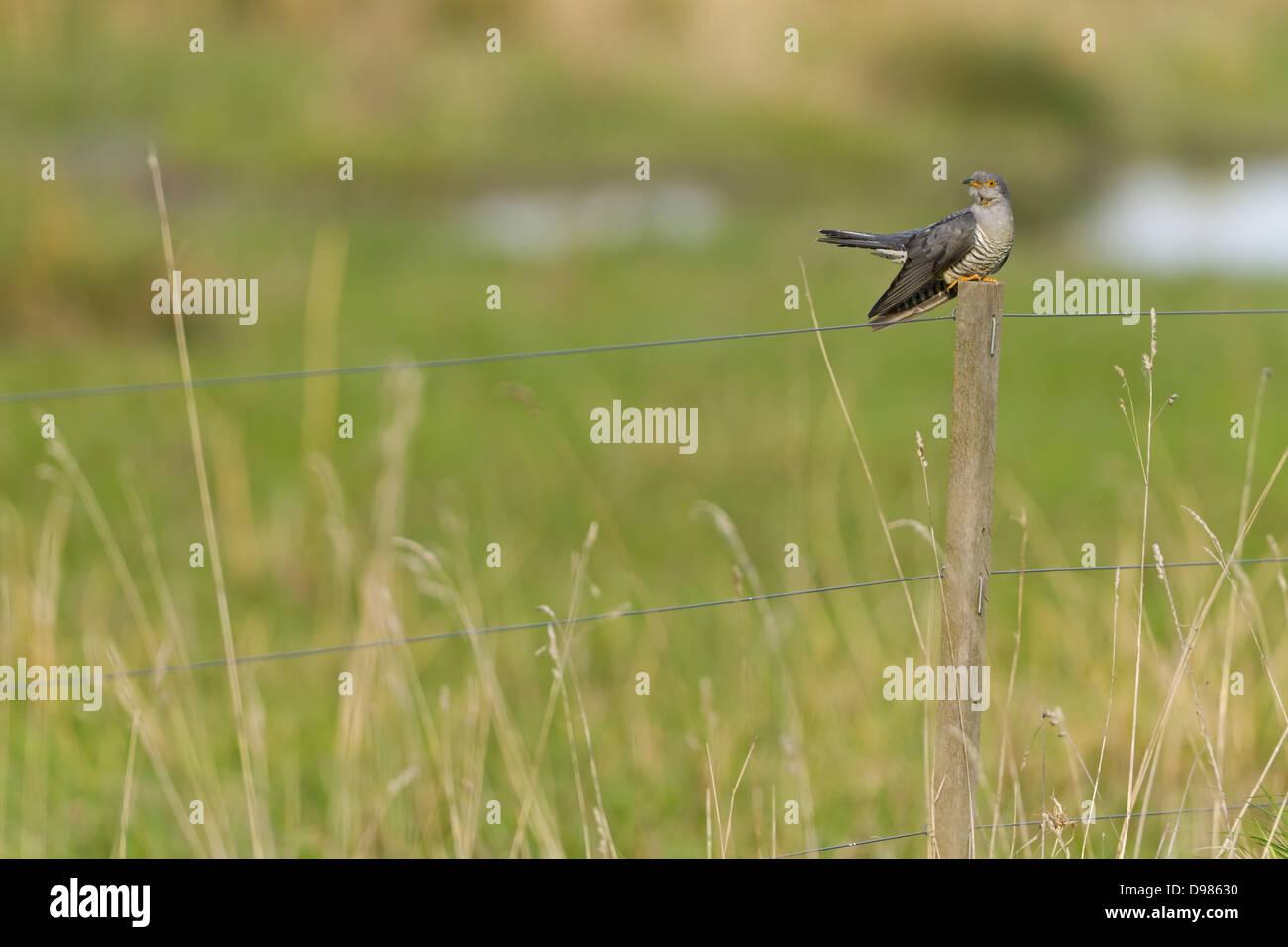 Kuckuck, Eurasian Cuckoo, Cuckoo, Common Cuckoo, Cuculus canorus, Coucou gris, Cuco Europeo, Cuco Común - Stock Image
