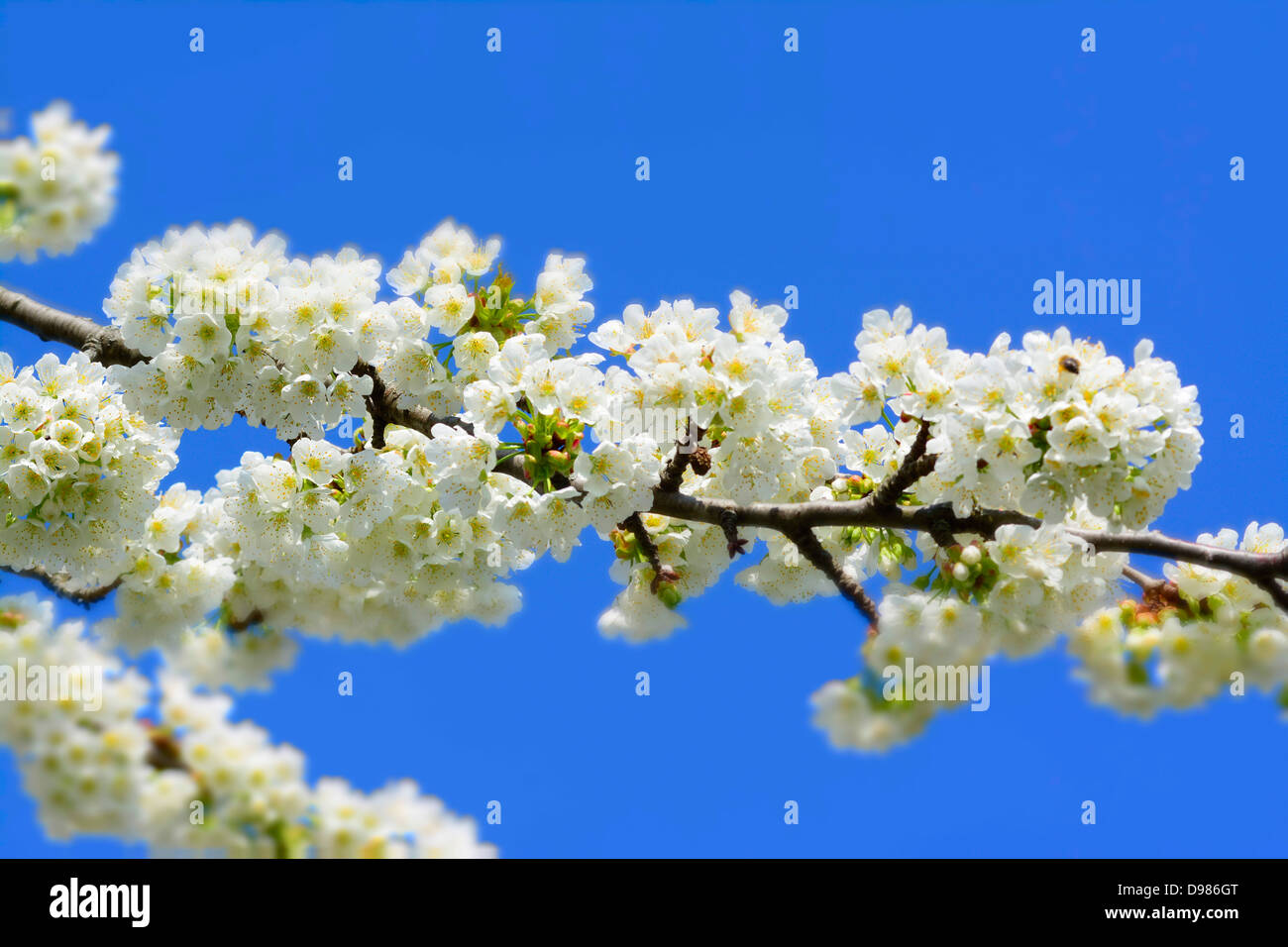 Apple blossom tree in Spring - Stock Image