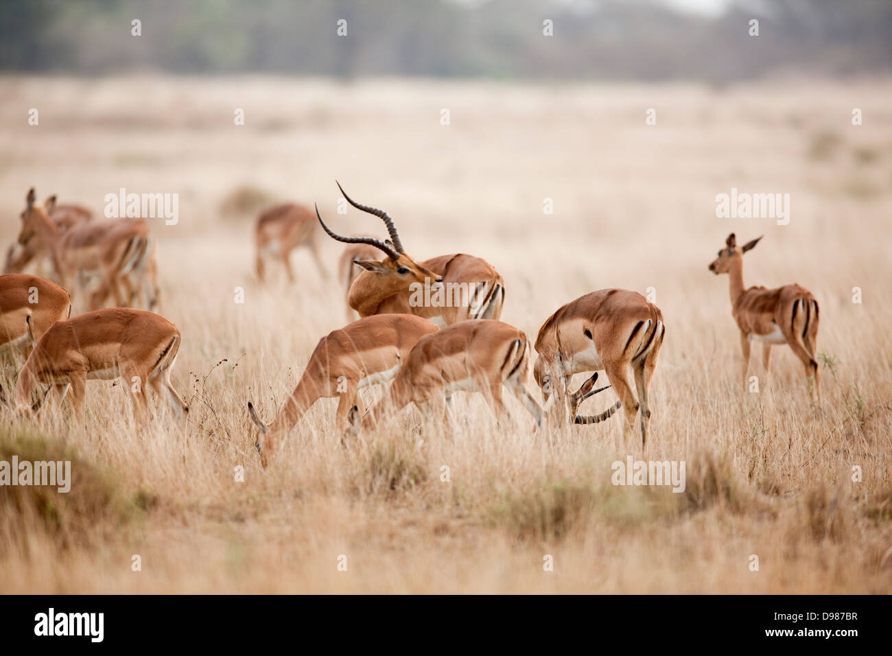 Roebuck marsh area, Phinda Game Reserve, South Africa - Stock Image