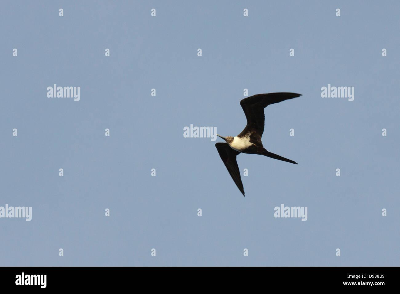 Lesser Frigatebird Fregata ariel, Borneo, Malaysia - Stock Image