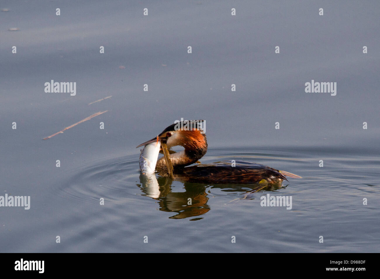 Great crested grebe (Podiceps cristatus) eating a fish, Berkshire, England, UK - Stock Image