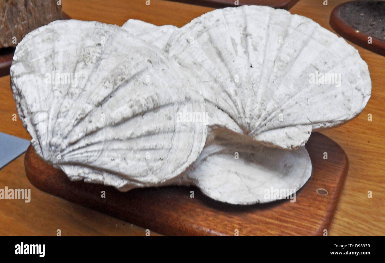 20 million year old fossil scallops from southeast France. - Stock Image