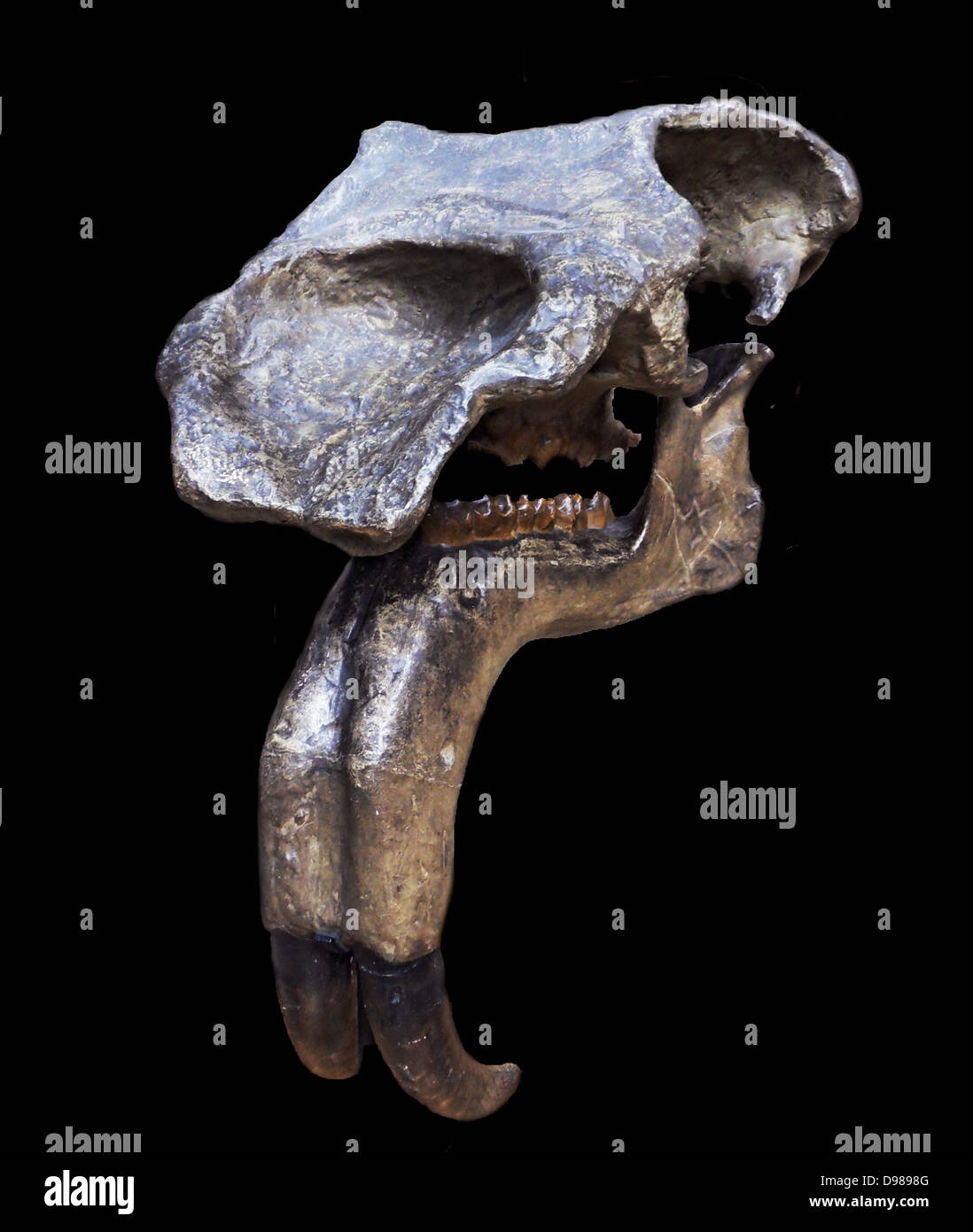 Deinotherium gigantean Kaup 1829. Head and teeth of Deinotherium giganteum Deinotherium giganteum is the type species. - Stock Image
