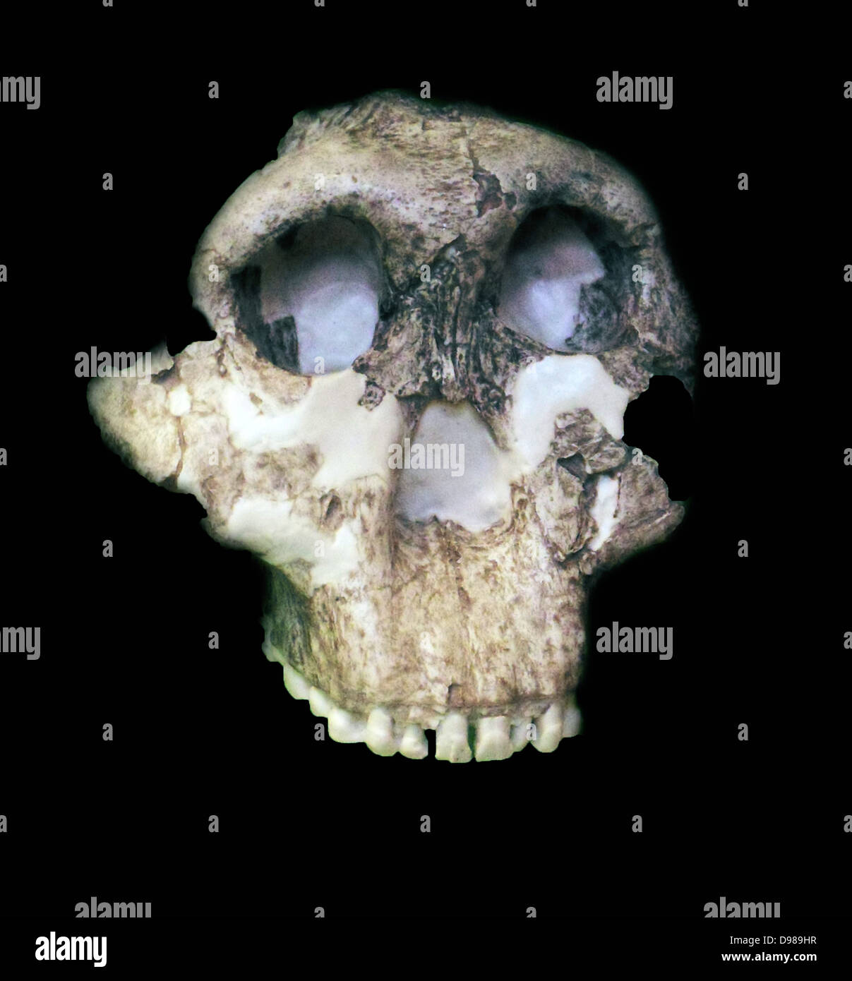 Paranthropus boisei (originally called Zinjanthropus boisei and then Australopithecus boisei until recently) was - Stock Image