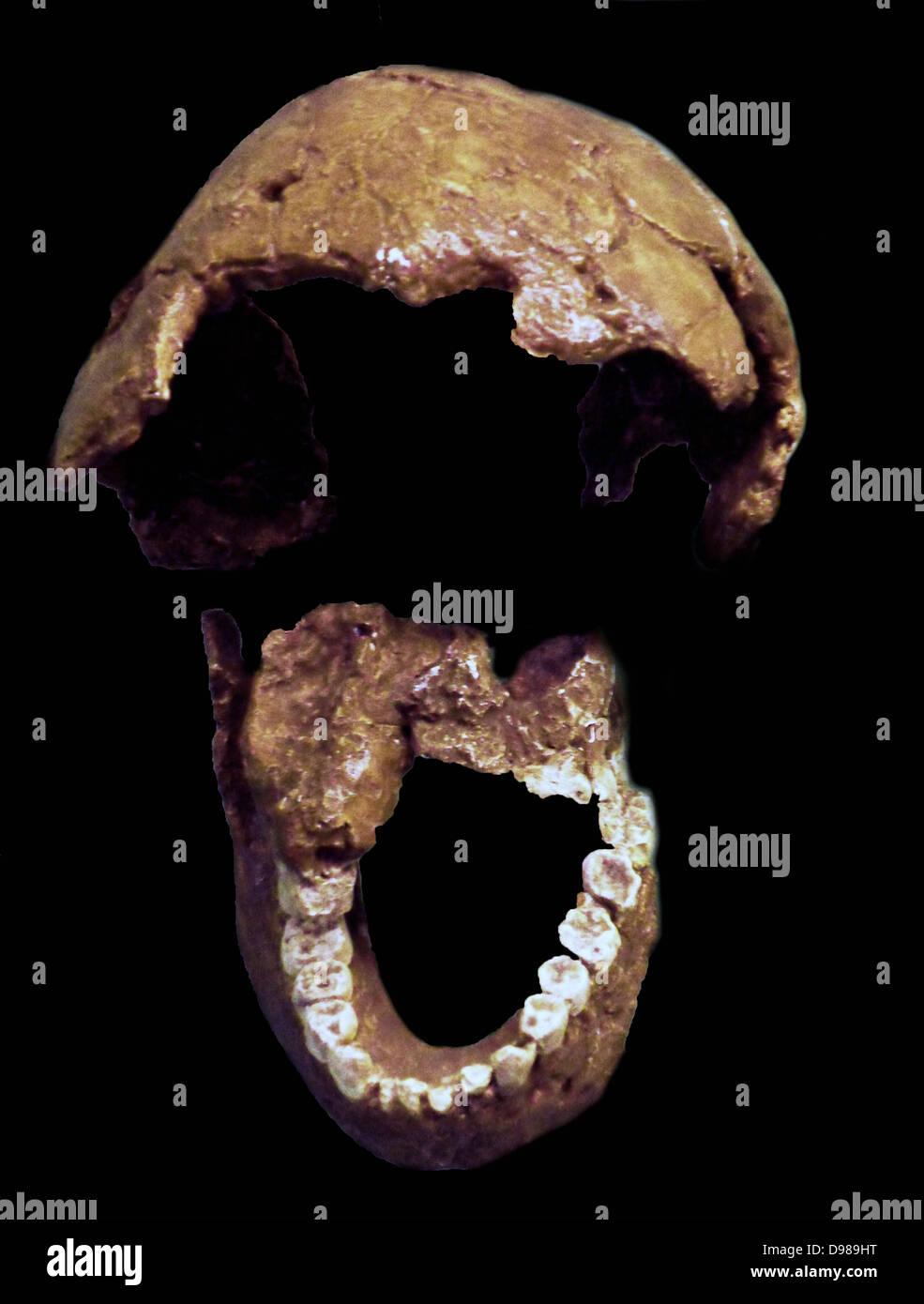 Homo Habilis.  Leakey et al 1964.  East and southern africa.  Casts of tibia and fibula - Stock Image