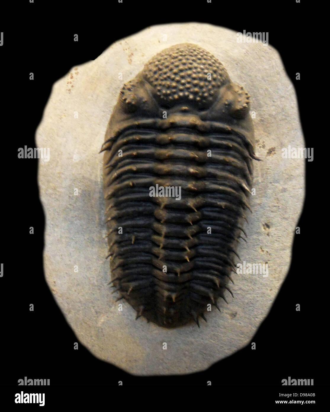 Drotops armatus.  Struve, 1995.  Devonian.  Merakib, Morocco. - Stock Image