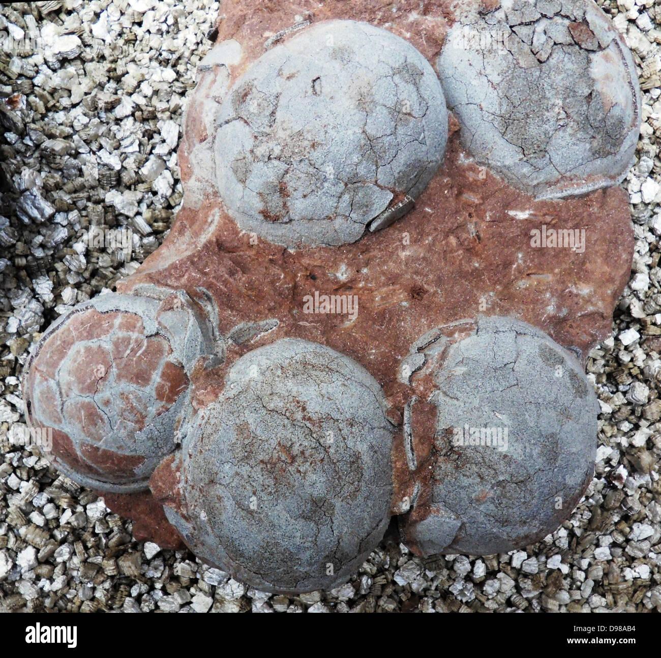 Dinosaur egg from Henau Province, China. - Stock Image