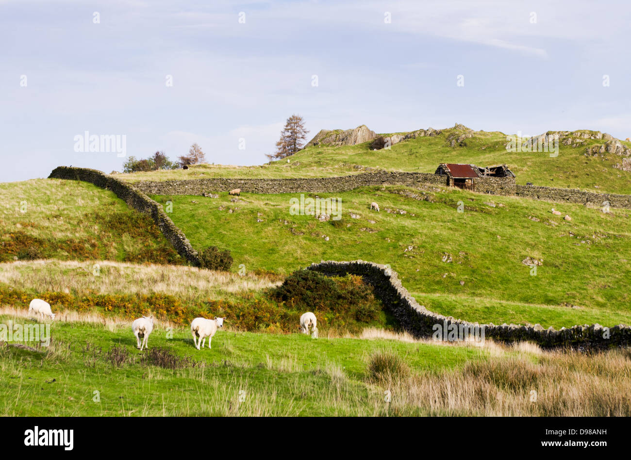 A typical lake district scene of green hills with a couple of sheep, stone fence and an old building. - Stock Image