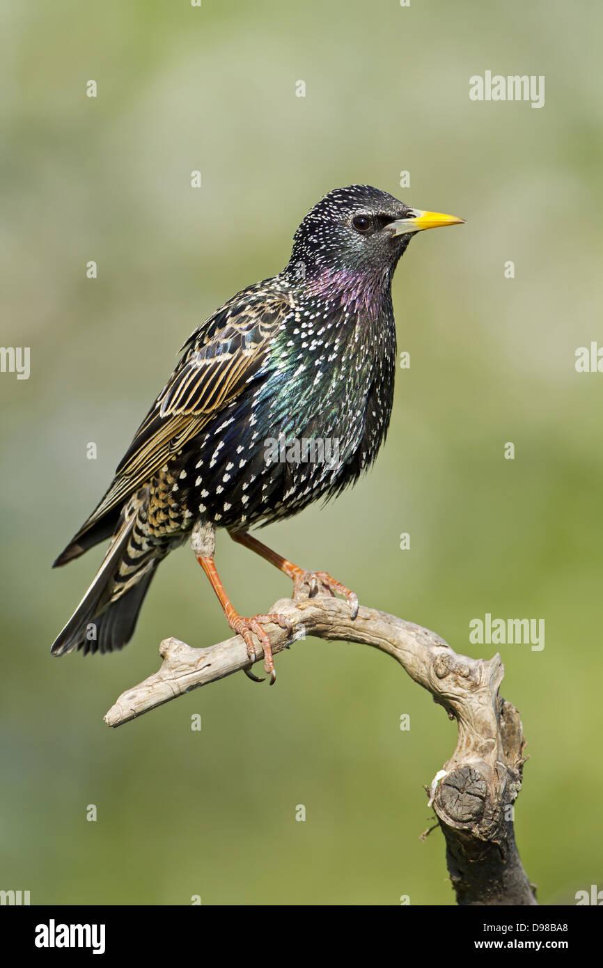 European Starling, Common Starling, Starling, Sturnus vulgaris, bird, Vogel, Star Stock Photo