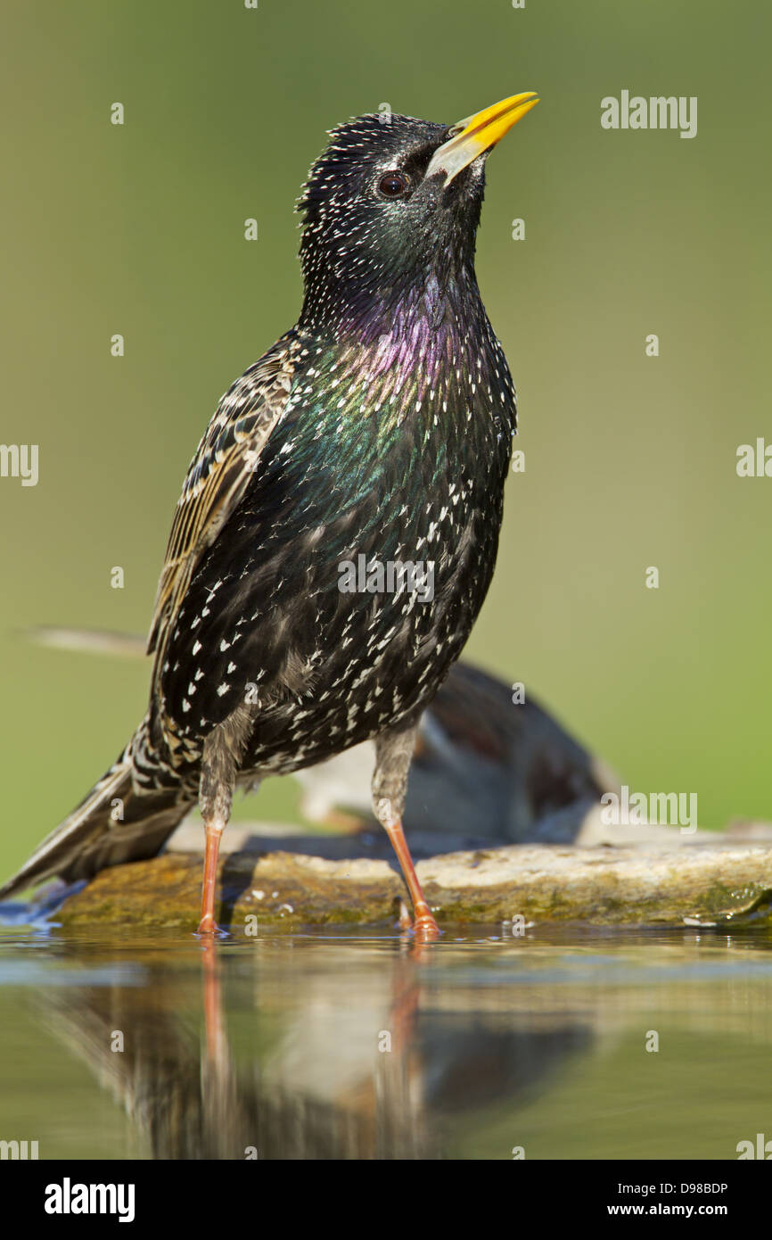 European Starling, Common Starling, Starling, Sturnus vulgaris, bird, Vogel, Star - Stock Image
