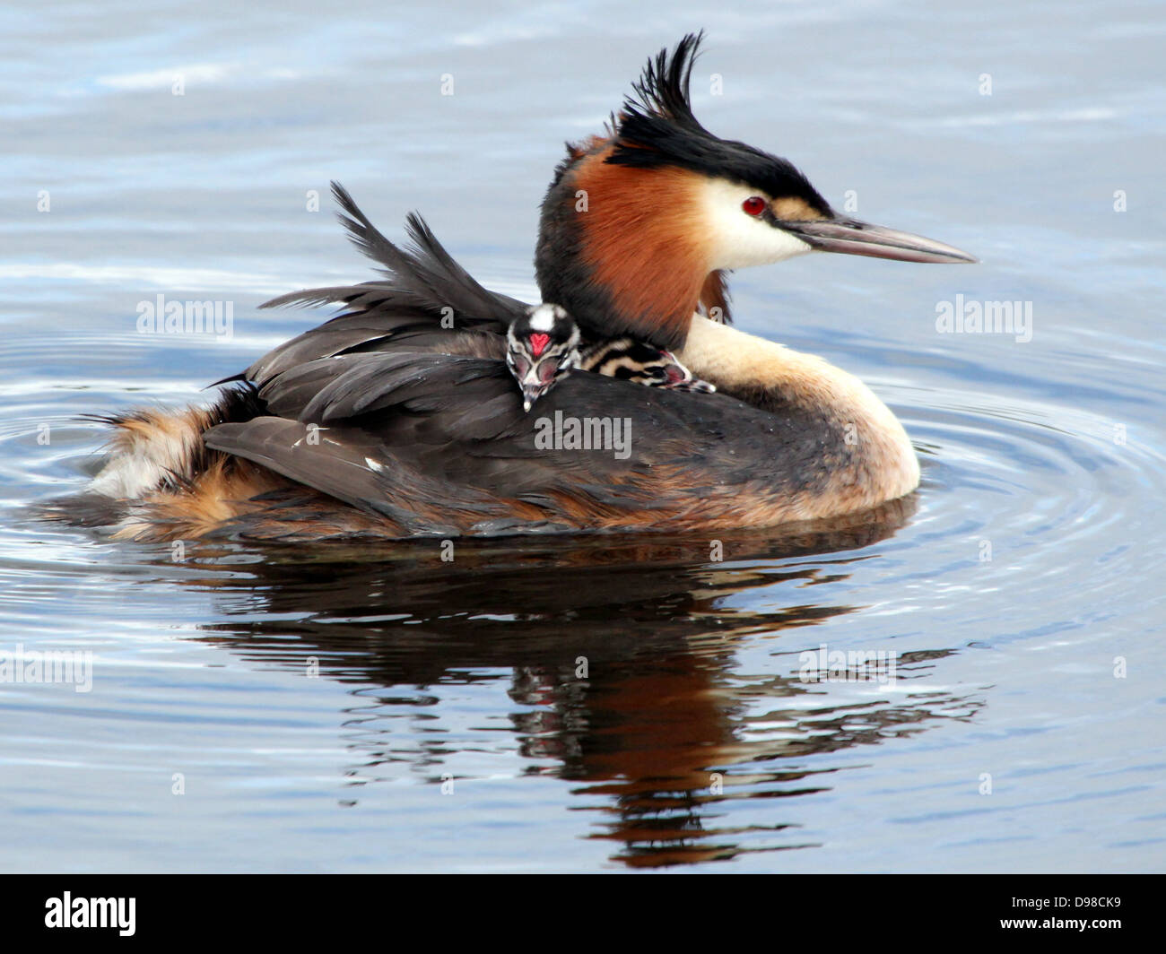 Great Crested Grebes (Podiceps cristatus) with grebes riding piggy-back & being fed by their parents (over 30 - Stock Image