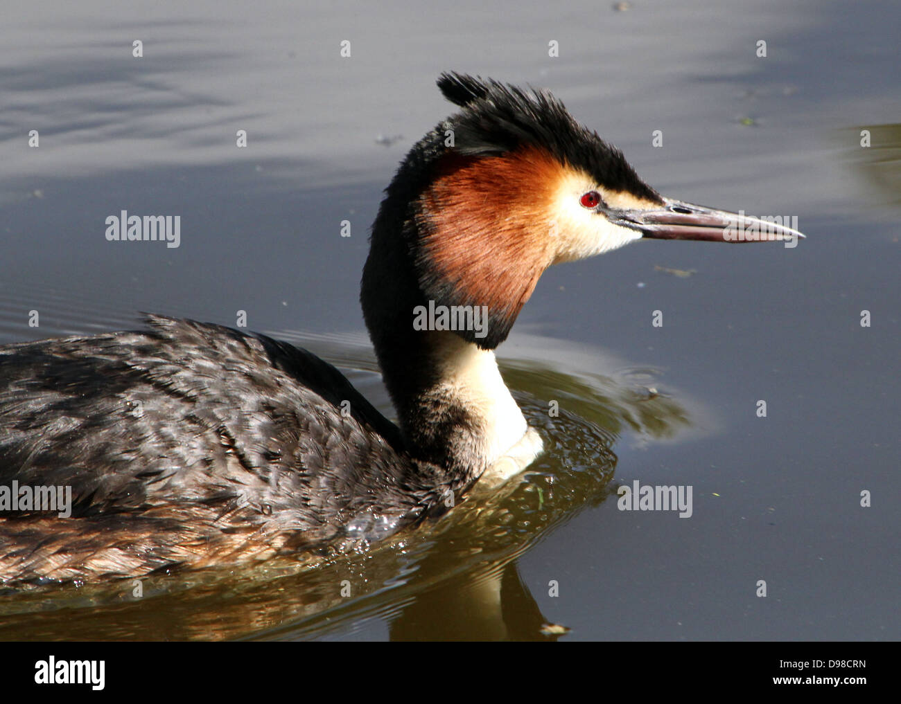 Close-up of a Great Crested Grebes (Podiceps cristatus) - Stock Image