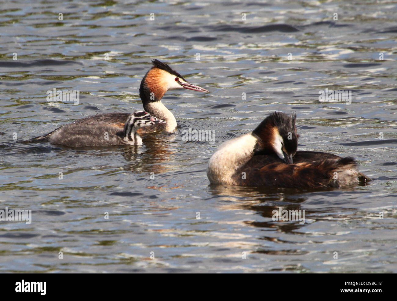 Great Crested Grebes (Podiceps cristatus) taking care of their youngsters (over 30 images in series) - Stock Image