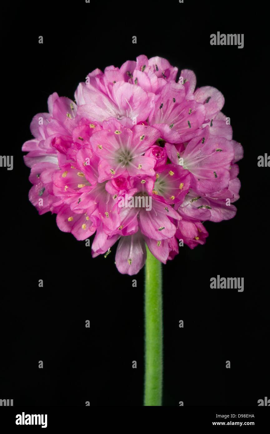A thrift flower, Armeria maritima, a flowering garden rock plant - Stock Image