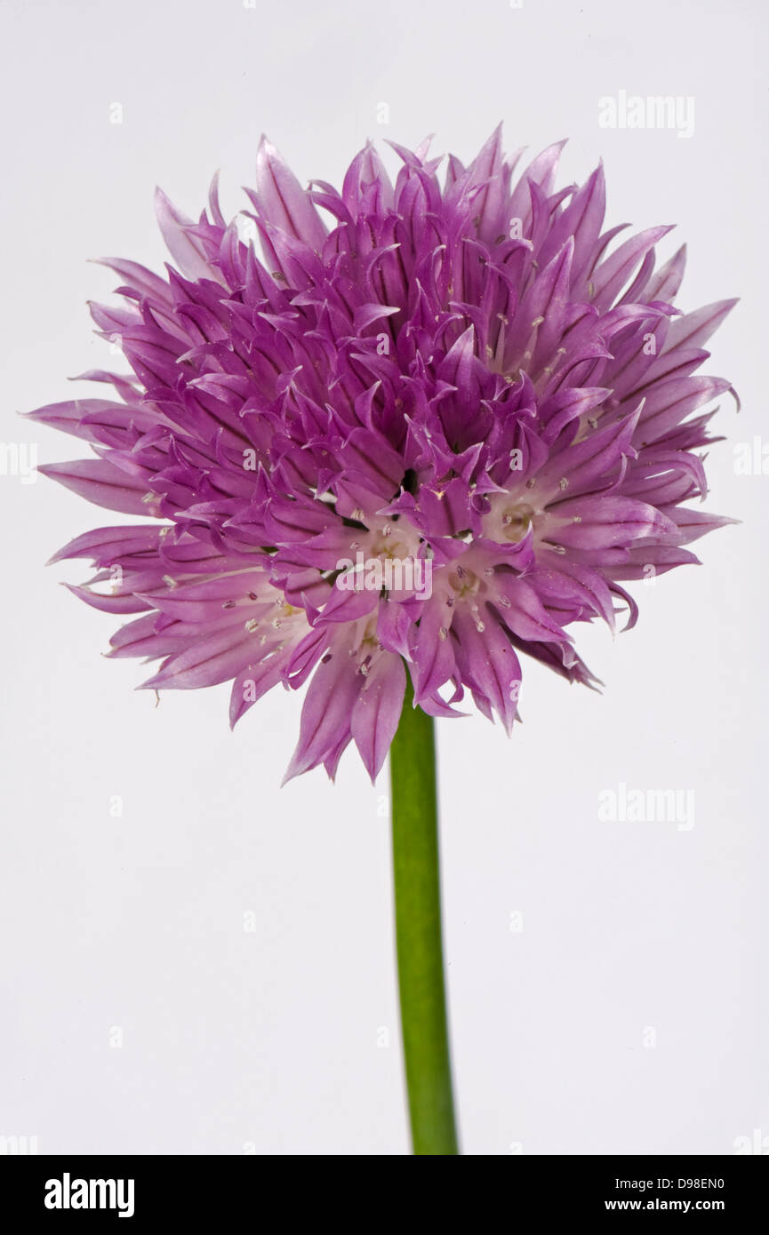 A pink flower of chives, Allium schoenoprasum, a kitchen herb of the onion family - Stock Image