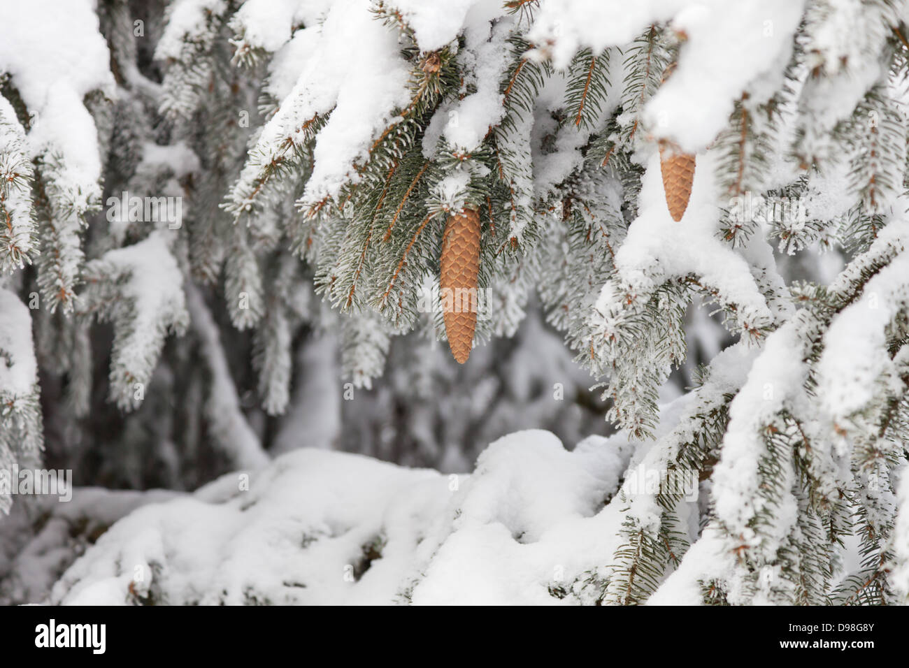 Close-up of the snow covered branches and pine cones of a Norway Spruce tree. - Stock Image