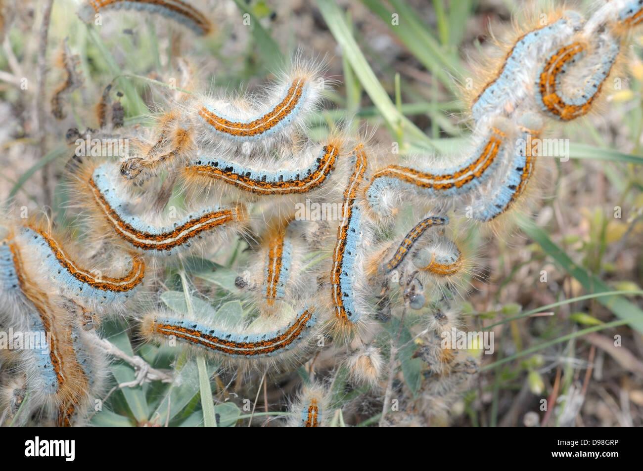 Ground Lackey (Malacosoma castrensis L.) Crimea, Ukraine, Eastern Europe - Stock Image