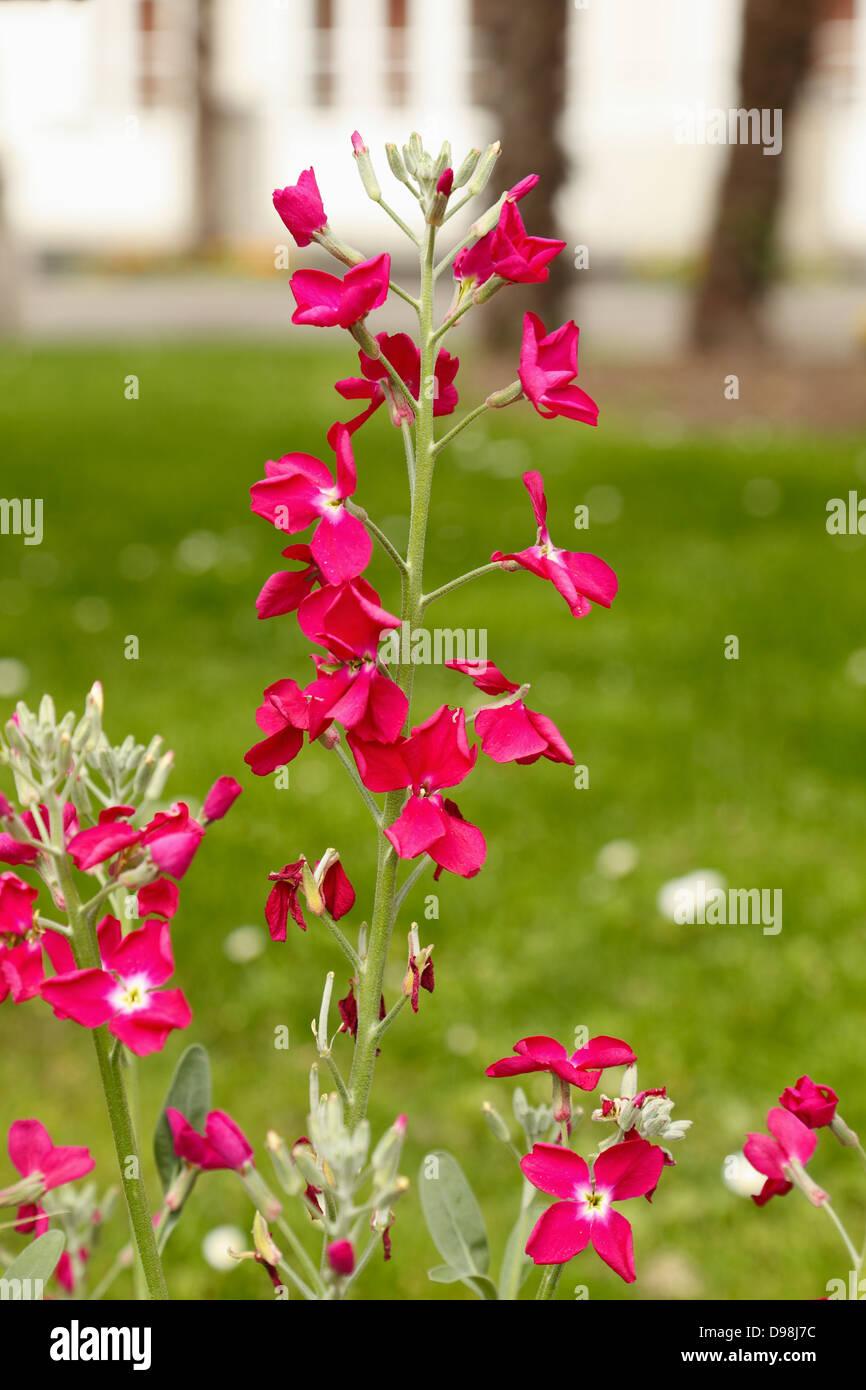 Purple Wild Orchid - Stock Image