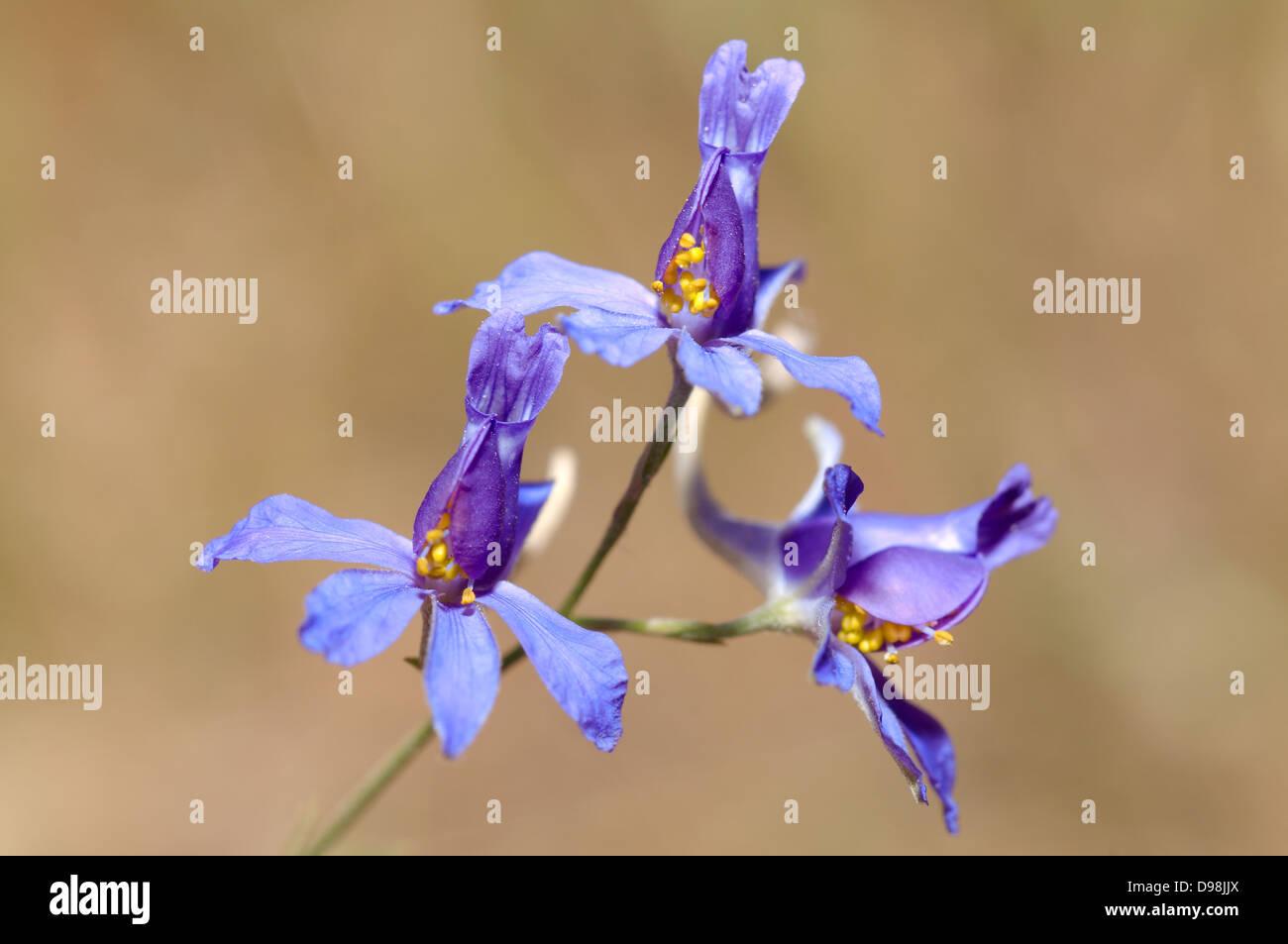 Forking Larkspur, Rocket-larkspur, or Field larkspur (Delphinium consolida) Crimea, Ukraine, Eastern Europe - Stock Image