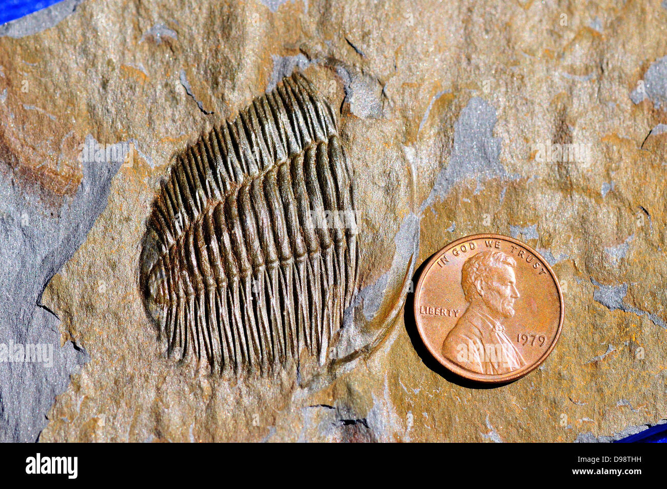 Fossil trilobite Angelina Sedgwickii of Ordovician age. Deformed fossil shown strain in the rock under shear stress. - Stock Image