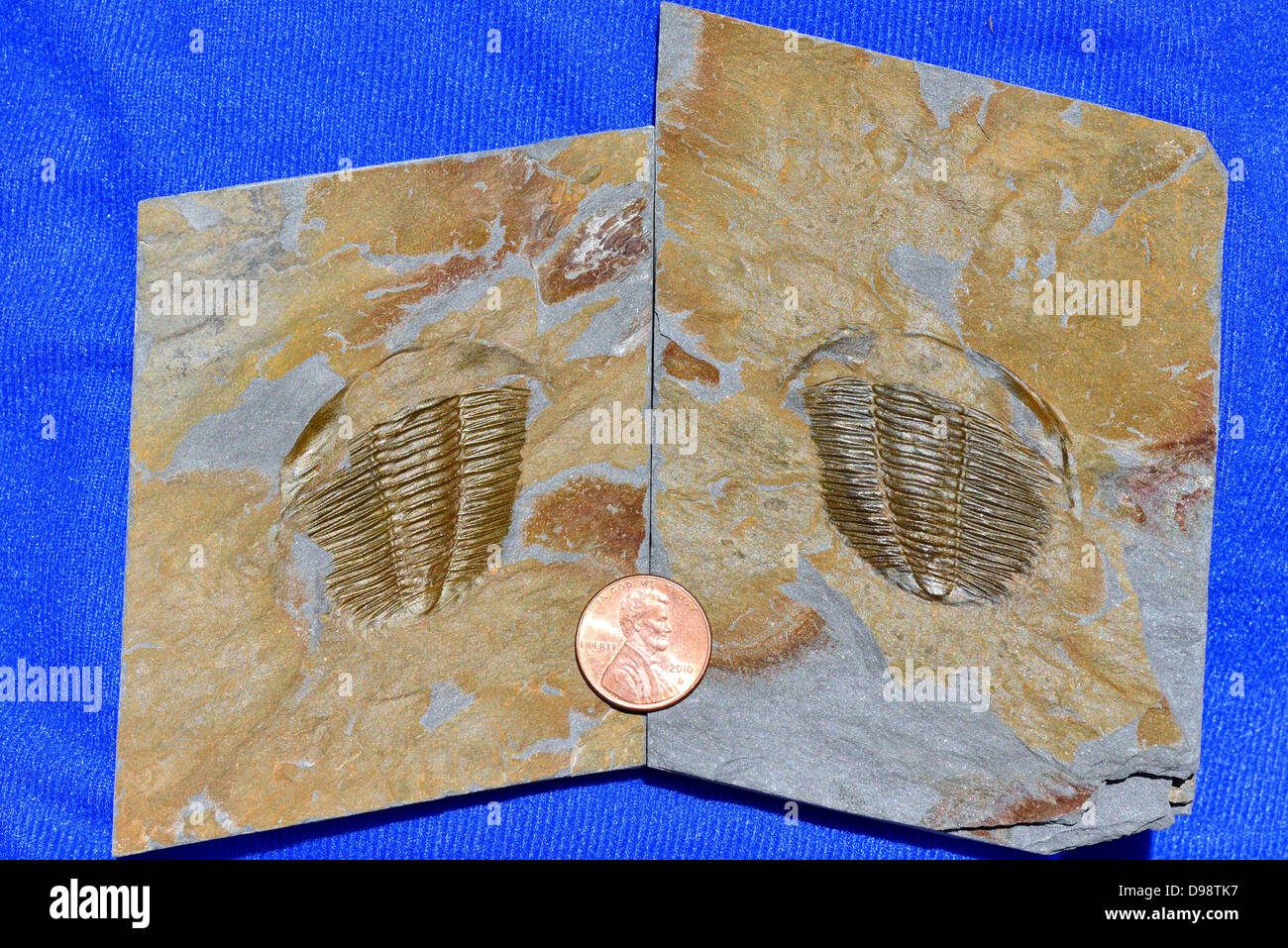 Fossil trilobite Angelina Sedgwickii of Ordovician age, a pair of cast and mold deformed by shear stress. - Stock Image