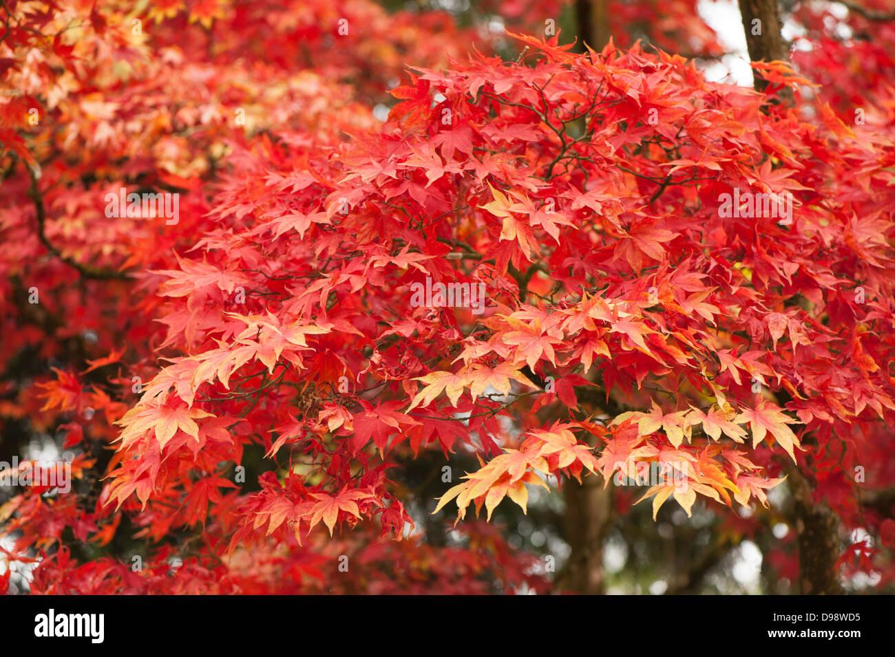 Acer Palmatum Heptalobum Japanese Maple In Autumn Stock Photo