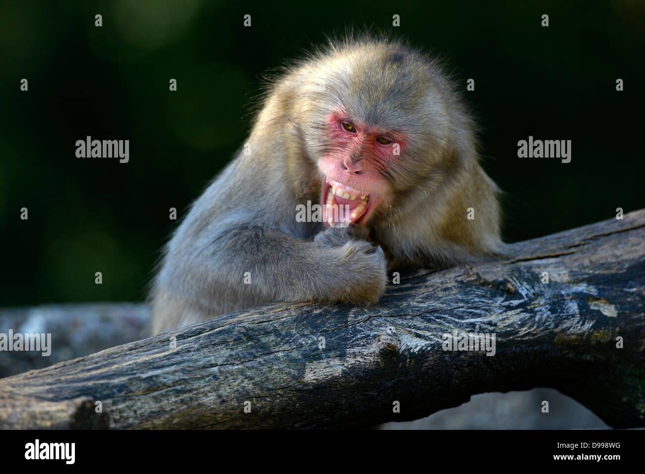 Japanese snowy monkeys Macaca fuscata monkey Stock Photo