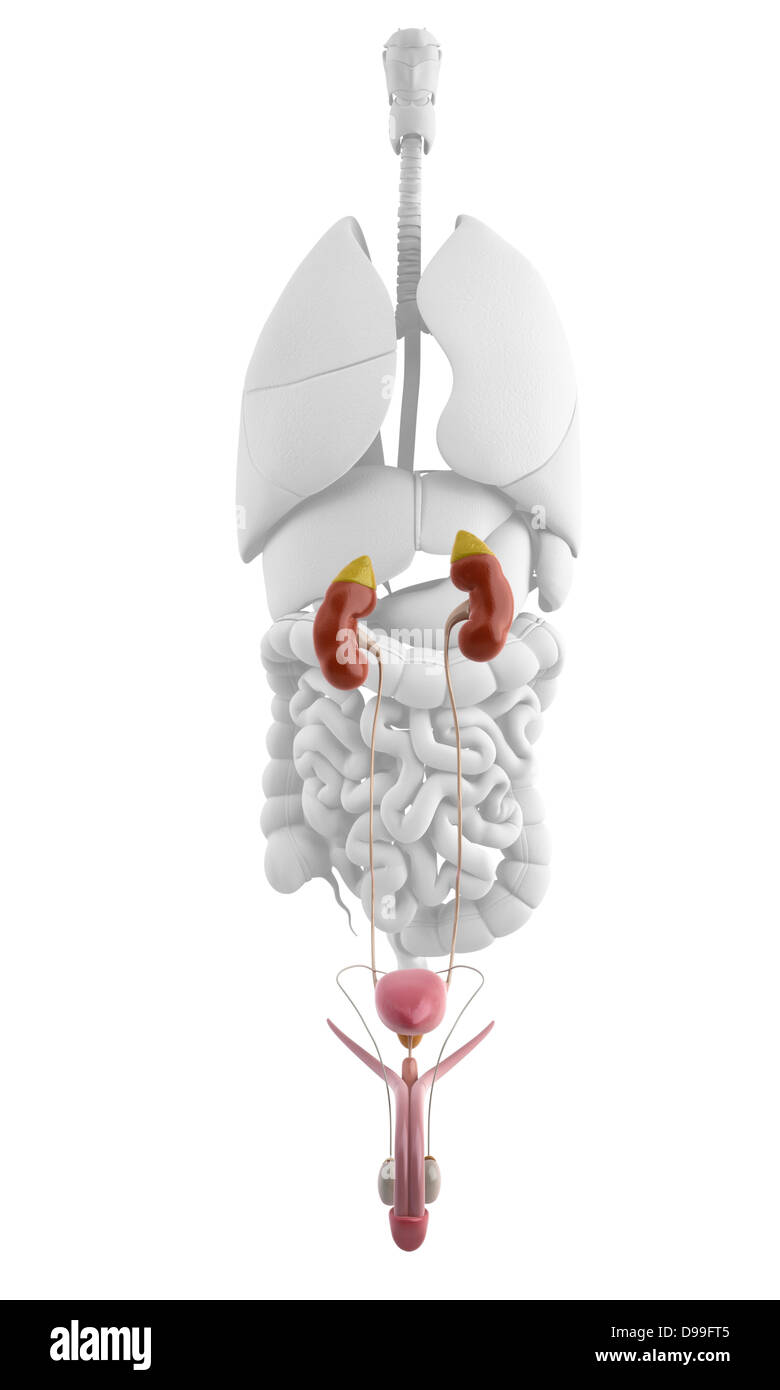 Anatomy of male urinary system Stock Photo: 57373013 - Alamy
