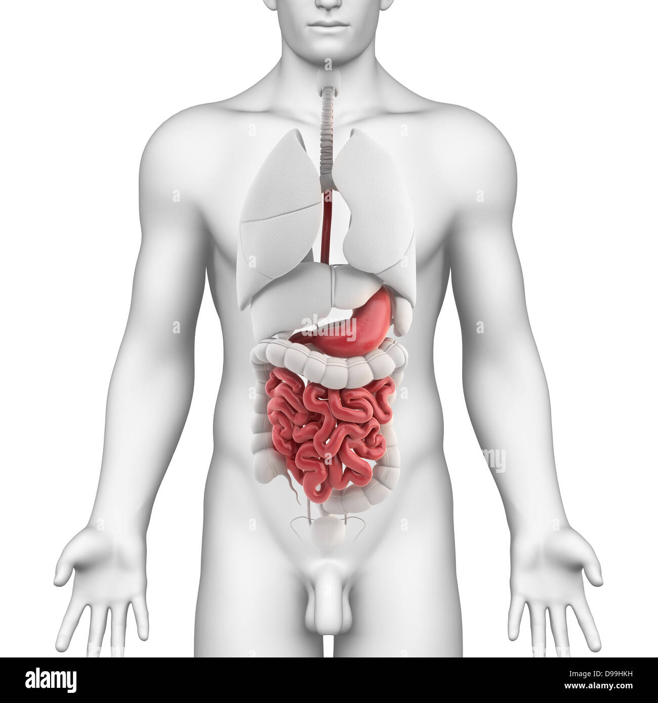 Stomach anatomy of male with all internal organs Stock Photo ...