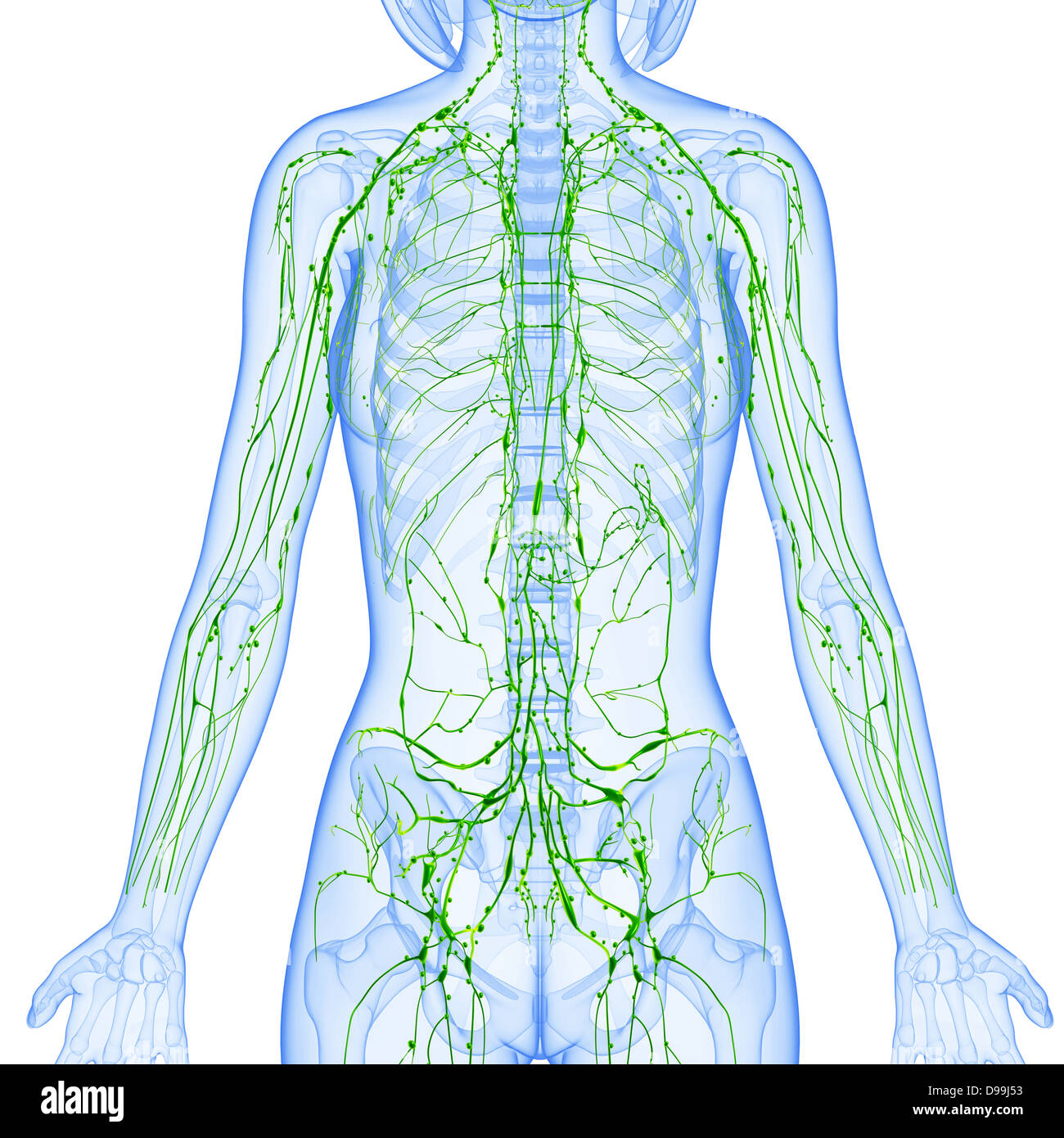 lymphatic system of female body anatomy in x-ray form Stock Photo ...