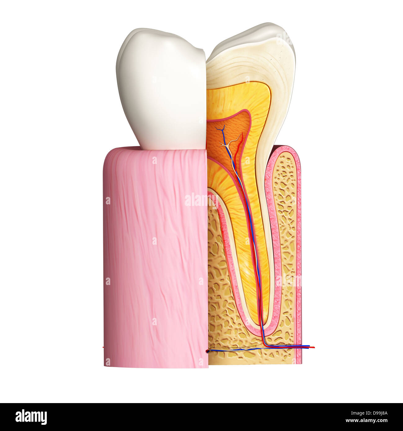 anatomy of human teeth cross section Stock Photo: 57374922 - Alamy