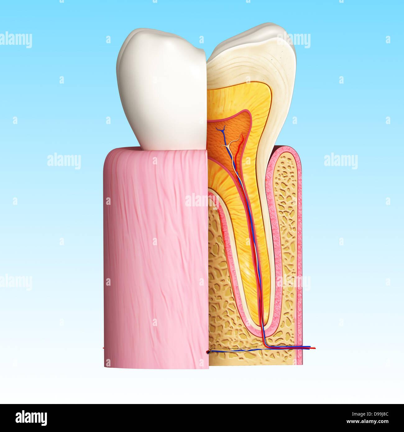 Digital Illustration Teeth Cross Section Stock Photos & Digital ...