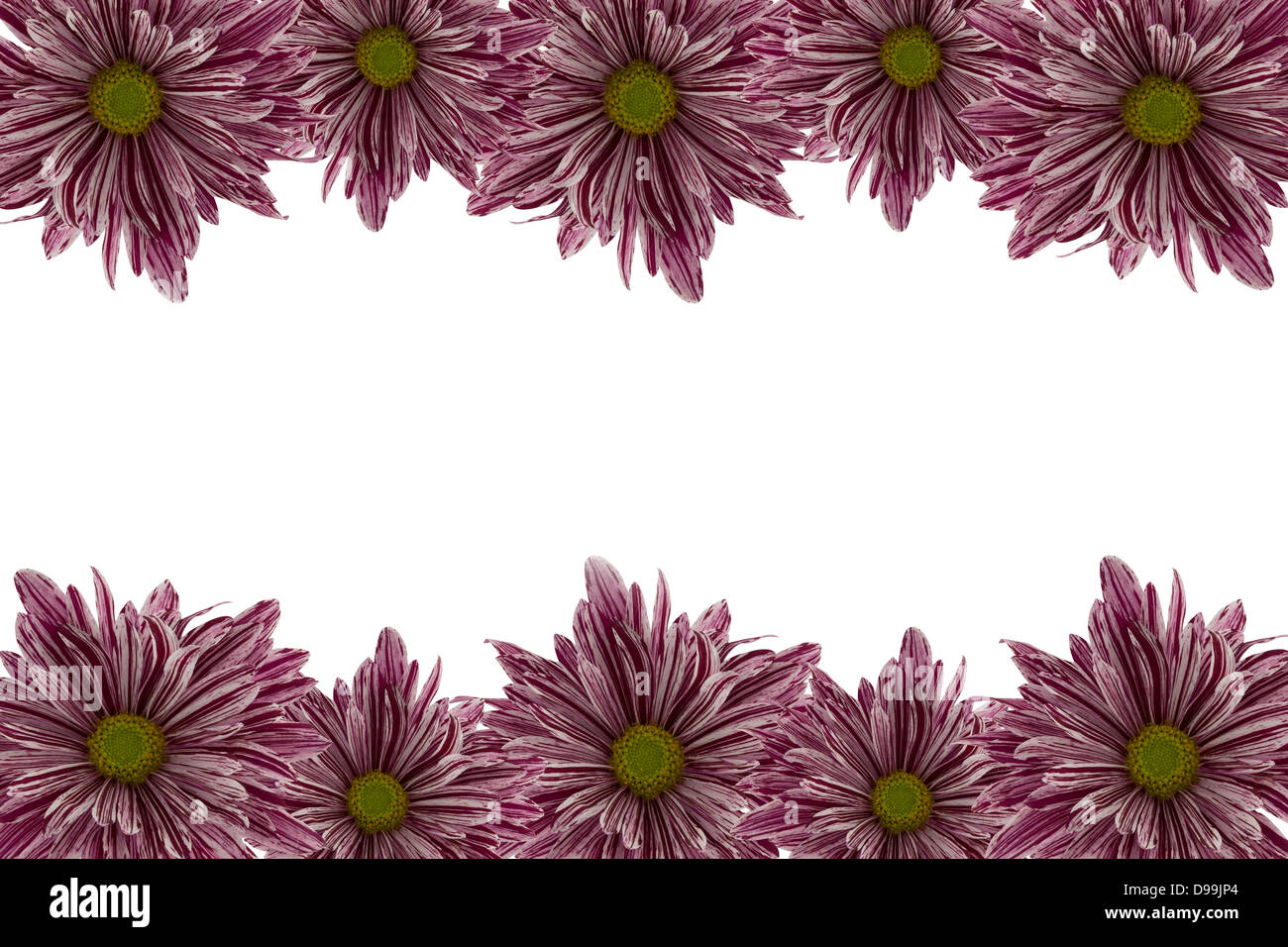 Pink chrysanthemum border with a white background. - Stock Image