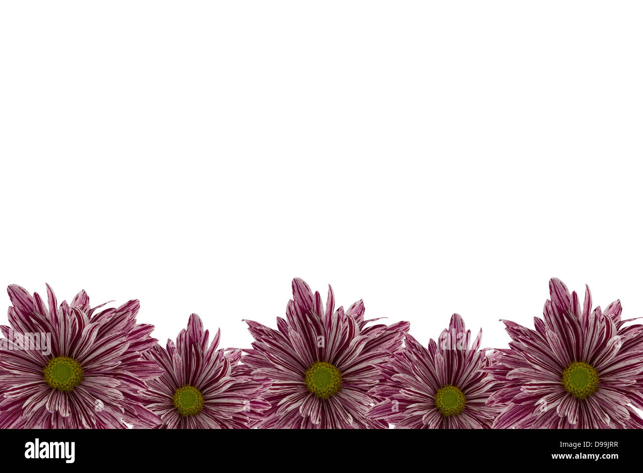 Red chrysanthemum border with a white background. - Stock Image