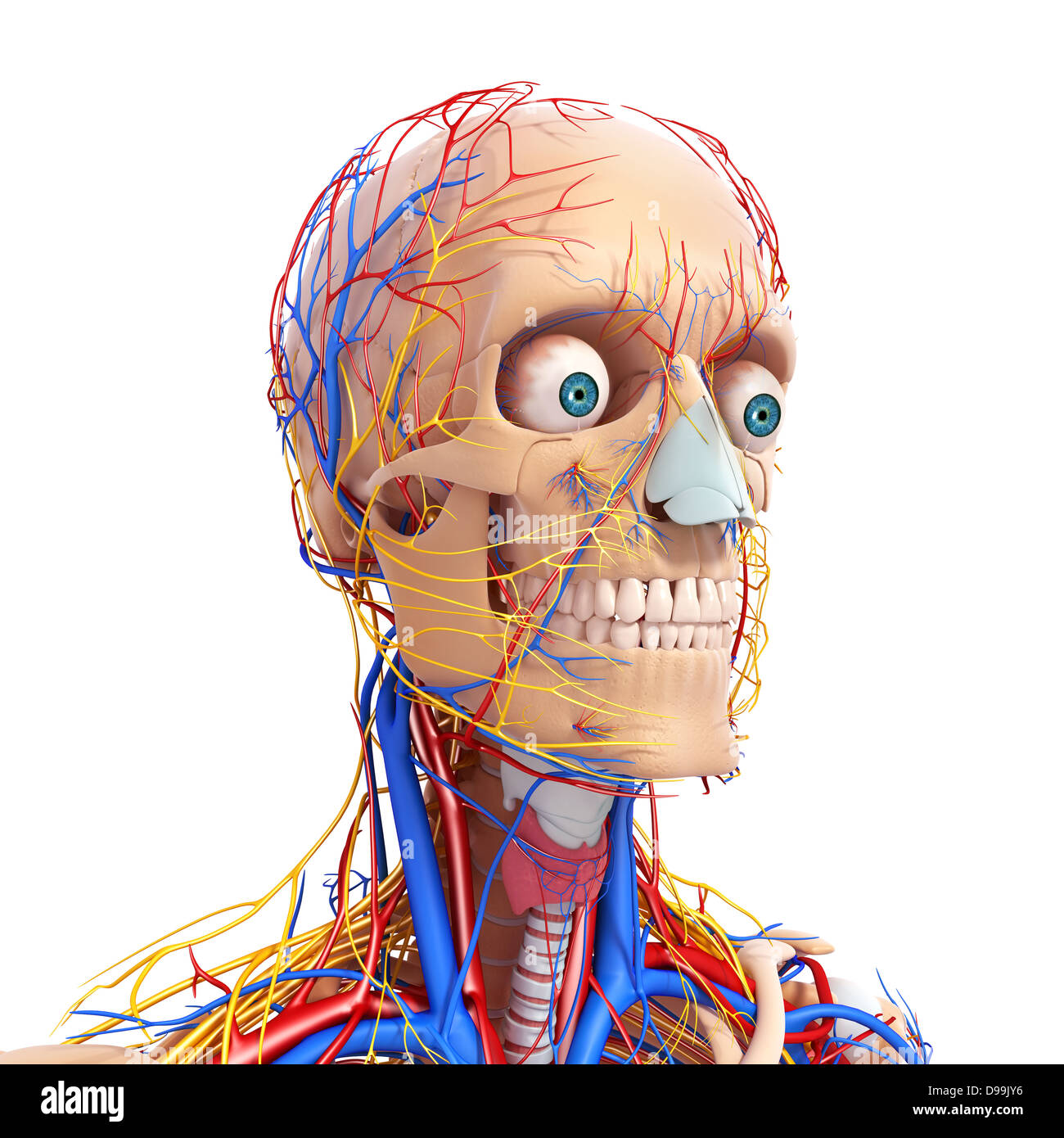 circulatory nervous and lymphatic system of human head anatomy Stock ...