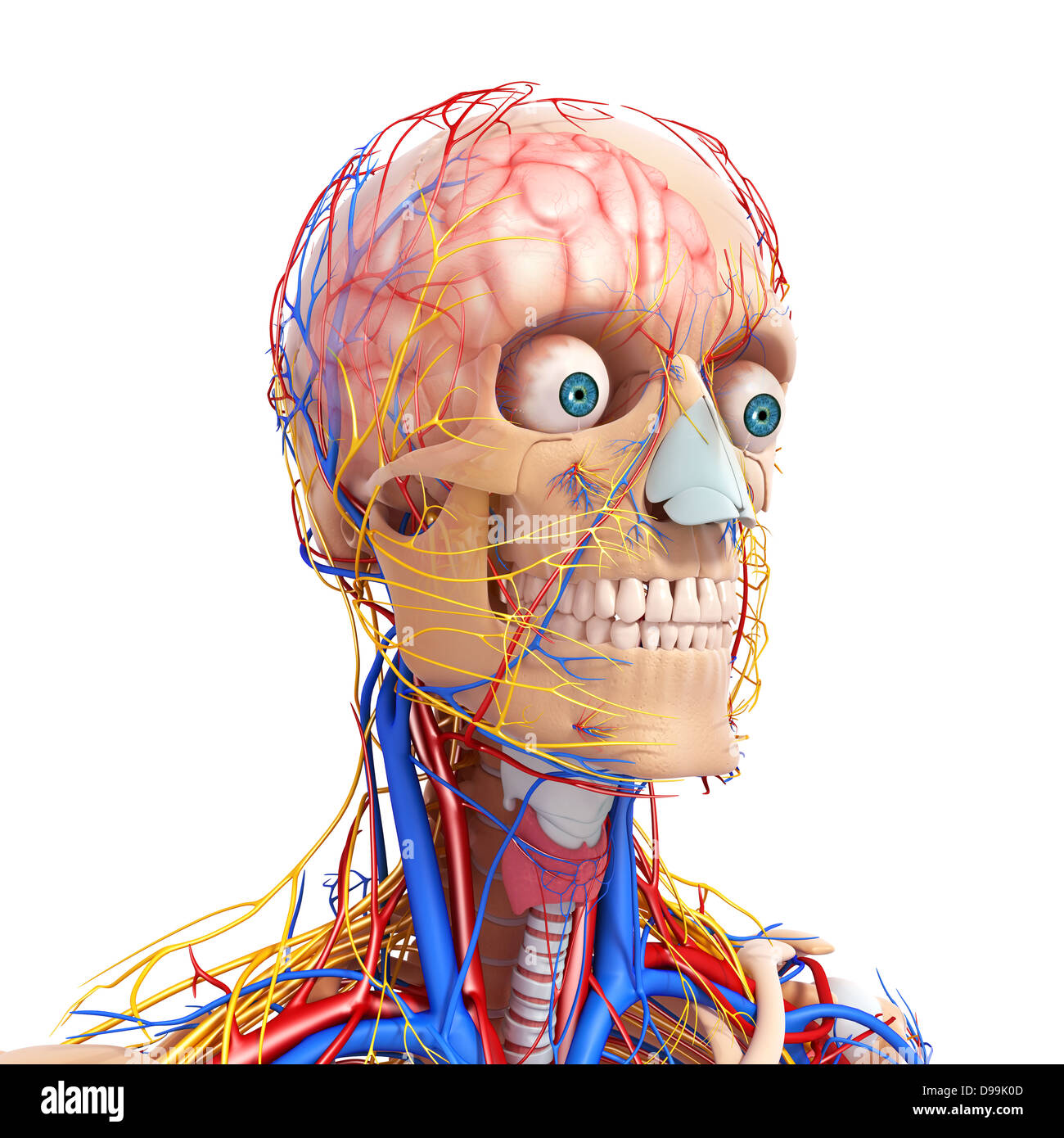 Circulatory Nervous And Lymphatic System Of Human Head Anatomy Stock