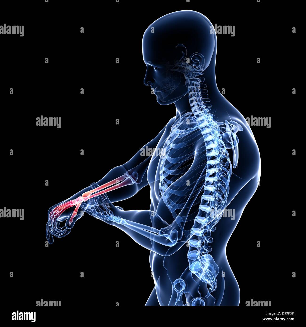 anatomy of male hand x-ray Stock Photo: 57375631 - Alamy