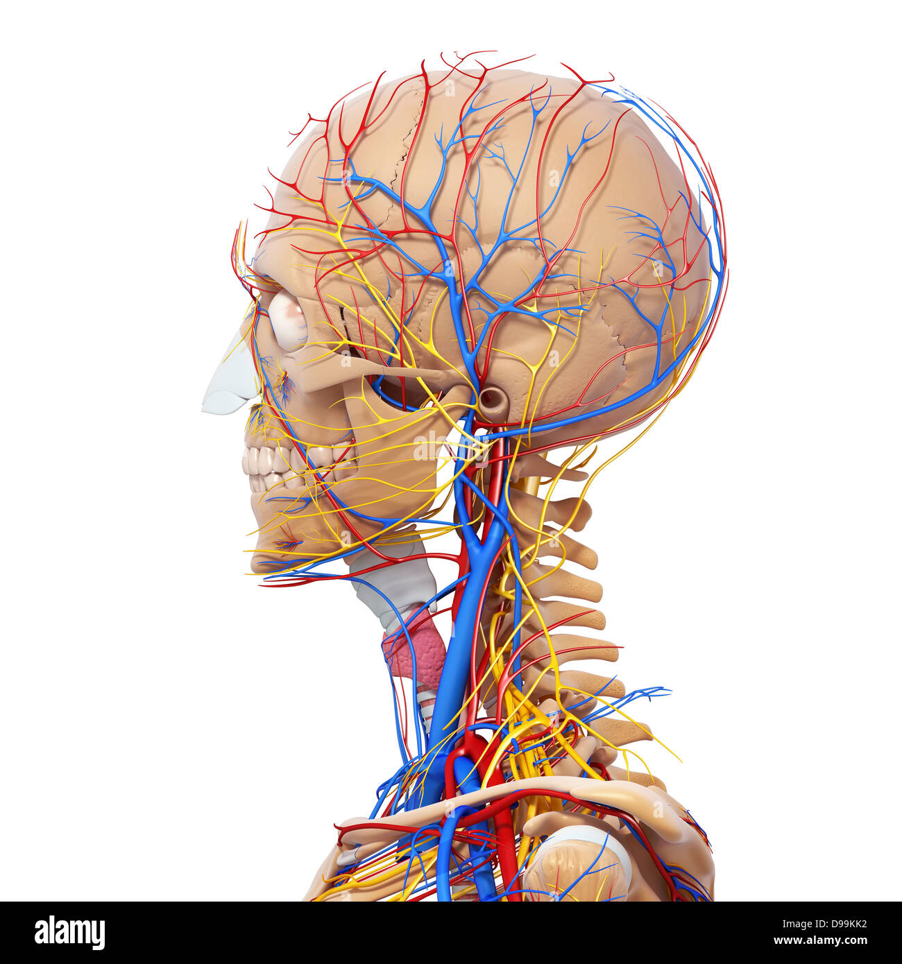 Circulatory nervous and lymphatic system of human head anatomy stock circulatory nervous and lymphatic system of human head anatomy ccuart Image collections