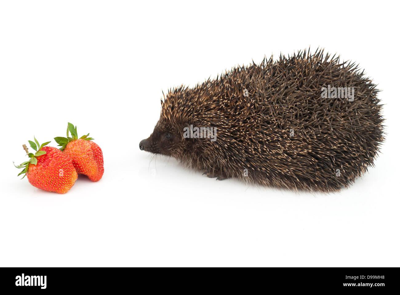 Hedgehog and strawberries Stock Photo